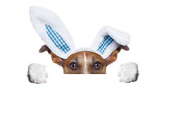 Dog easter bunny Stock Images