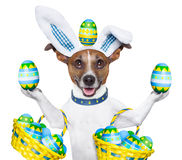 Dog easter bunny. Dog dressed up as easter bunny holding and balancing eggs royalty free stock images