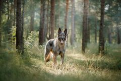 Dog Eastern European shepherd dog in the forest. Grey dog East European shepherd in the woods royalty free stock image