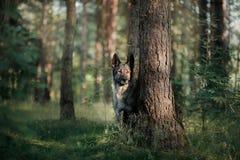 Dog Eastern European shepherd dog in the forest Stock Image