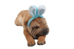 dog eastern sharpei Arkivfoton