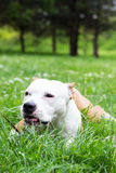 Dog eat grass in the park Stock Image