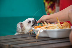 Dog eat a prawn fried shrimp salt feed pet owner. Dog so cute mixed breed with Shih-Tzu, Pomeranian and Poodle sitting at wooden table outdoor restaurant waiting Stock Image