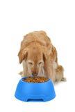 Dog eating Royalty Free Stock Images