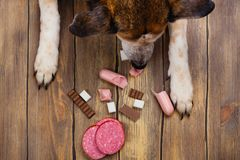 Dog eating banned food. Unhealthy meal for animals. Copy space Royalty Free Stock Photography