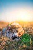 Dog eating bone Stock Photo