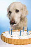 Dog eating a cake Stock Image