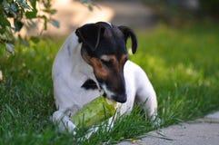 Dog eating Royalty Free Stock Photo