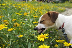DOG EATING DAISIES. A Jack Russell terrier enjoying yellow daisies Stock Photo