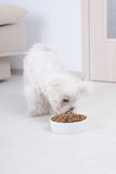 Dog eating dry food. Little dog maltese eating his food from a bowl in home Royalty Free Stock Photo