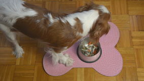 Dog is Eating Fish stock video