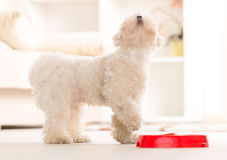 Dog eating food from a bowl. Little dog maltese waiting for his food in home Royalty Free Stock Image