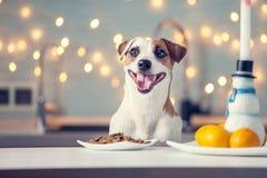 Dog eating food at home. Happy pet santa royalty free stock image