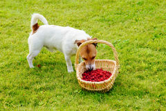 Dog eating fresh raspberries from basket. Jack Russell Terrier stealing berries Royalty Free Stock Photography