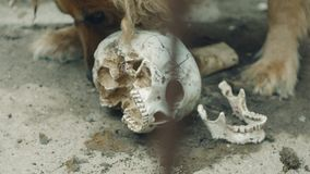 The dog is eating a human skull stock video footage