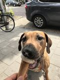 Dog eating icecream stock images