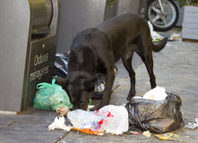 Dog eating litter Royalty Free Stock Images