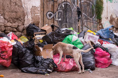 Dog eating litter in the street Stock Images