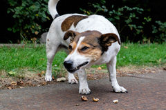 Dog eating nuts - the nutcracker Royalty Free Stock Photo
