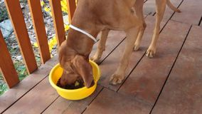 Dog eating out of his bowl, dog eats granules, Hungarian Pointer stock footage