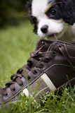 Dog eating shoe Stock Photo