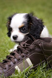 Dog eating shoe Royalty Free Stock Photography