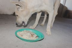 Dog eating sticky rice in green plate for his breakfast royalty free stock photos