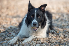 Dog eating stone. Border collie  looking strait, lying on the shore and eating stone Stock Photo