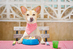 Dog eating a the table with food bowl Royalty Free Stock Photography