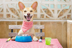Dog eating a the table with food bowl. Hungry chihuahua dog eating with tablecloth utensils at the table , food  bowl , fork and knife Royalty Free Stock Photos