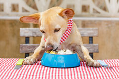 Dog eating a the table with food bowl Royalty Free Stock Image