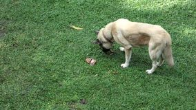 A dog eating a treat stock footage