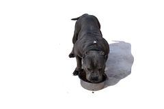 The dog eats from a bowl on a white background. The dog american bully eats from a bowl on a white background royalty free stock photography