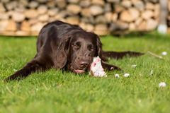 Dog eats calf sternum Stock Image