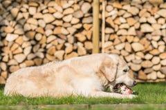 Dog eats calf sternum Stock Images