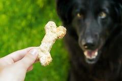 Dog eats cookies. Royalty Free Stock Image