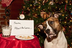 Dog Eats Santas Cookies. A cute dog that ate the cookies left out for Santa Royalty Free Stock Photo
