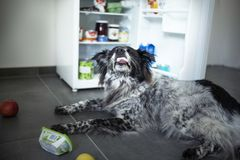 Mixed breed dog steals food from the fridge. royalty free stock photography