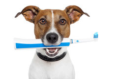 Dog with electric toothbrush Royalty Free Stock Photo