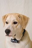 Dog with electronic training collar Stock Image