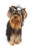 Dog with elegant top knot Royalty Free Stock Photography