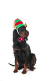 Dog with elf hat Stock Images