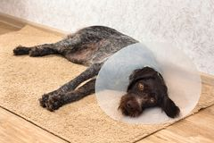 Dog with elizabethan buster collar Royalty Free Stock Photo