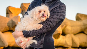Dog bichon malteze embraced woman hands Royalty Free Stock Photos