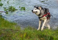 Dog emotions after swimming, wet husky on the beach in motion, jumping in splashes  the background of water. Dog emotions after swimming, wet husky on the beach royalty free stock photography