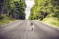 Dog on an empty asphalt road royalty free stock photography