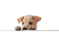 Dog with empty boar Stock Image
