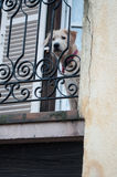 Dog enclosed on a balcony Stock Images