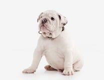 Dog. English bulldog puppy on white background Stock Images