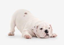Dog. English bulldog puppy on white background Stock Image
